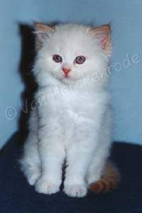 Chaton British longhair red point