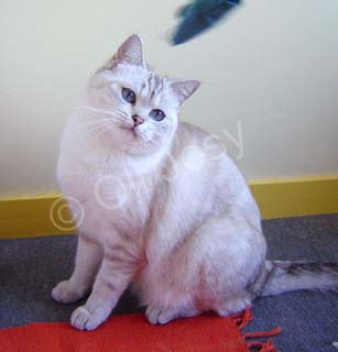 Femelle British shorthair bleu silver tabby point