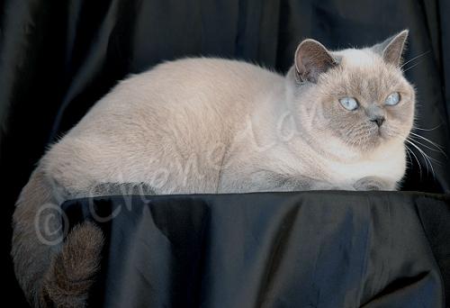 Femelle British shorthair bleu point