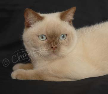 Femelle British shorthaircinnamon mink