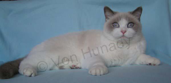 Femelle British shorthair lilac point et blanc