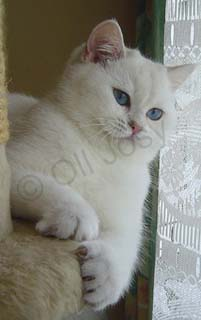 Femelle British shorthair seal silver shaded point