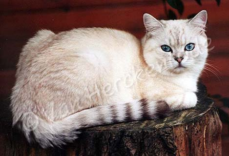 Femelle British shorthair seal silver tabby point