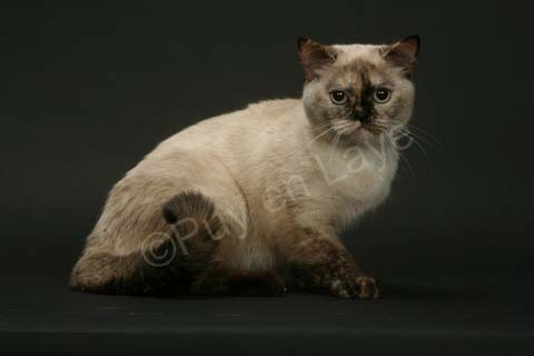 Femelle British shorthair seal tortie point