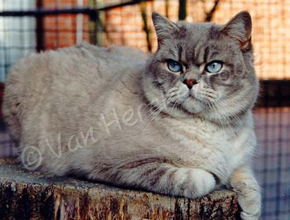 Mâle British shorthair bleu tabby point