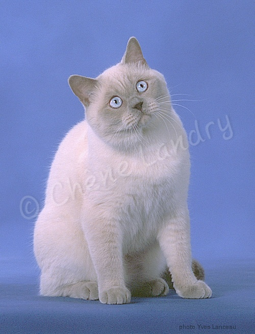 Mâle British shorthair lilac point