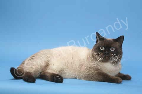 Mâle British shorthair seal point