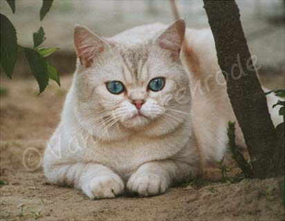 Mâle British shorthair seal silver tabby point